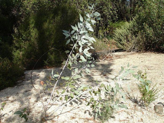 800px-eucalyptus_cretata